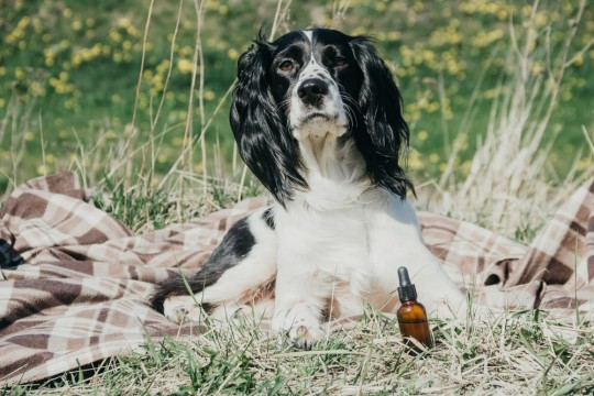Can CBD Oil Cure Anxiety In Dogs?